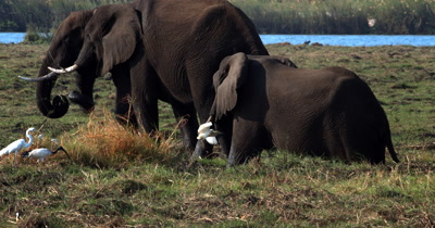 A close up shot of Three African Elephant,Loxodonta africana eating grass at the waters edge with birds all around them catching the insects that get disturbed by the elephants movements
