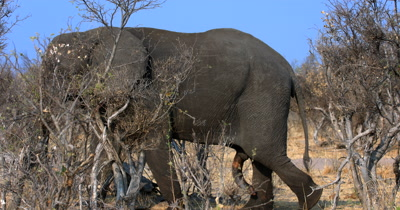 Close up of the body of a male African Elephant,Loxodonta africana dusts itself with sand while walking in the bush, with its penis dangling