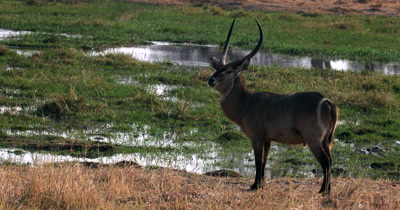Two Waterbuck, Kobus ellipsiprymnus walking on the Khwai river bank