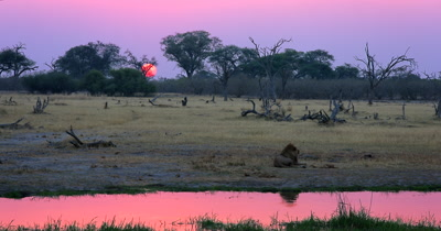 Sunset shot of the exhausted male Lion, Panthera leo after having numerous mating sessions resting, while the orange ball of the sun glows in the distance and peach colour hews surround the area