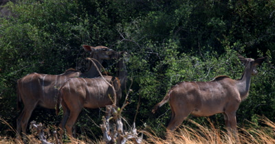 A close up shot of a herd of female Greater Kudu,Tragelaphus strepsiceros eating off a bush