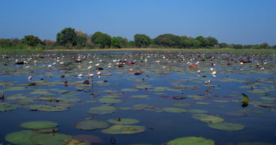 A field of Water lilies,Nymphaeaceae on the waters of the Okavango Delta