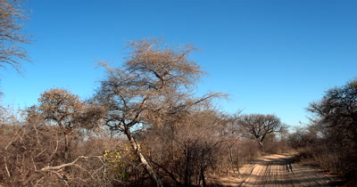 Driving through the Savanah bush and passing a young Baobab tree,Adansonia sp