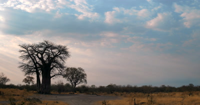 Pan from a silhouette of a Baobab tree to the Sunset in Savute with beams of God rays and puffy clouds and