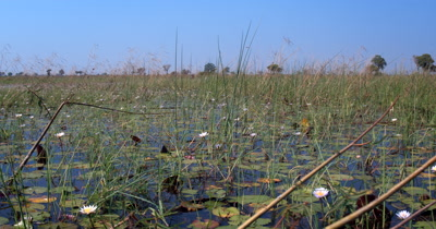 Water lilies,Nymphaeaceae grasss and reeds on the waters of the Okavango Delta