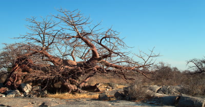 A majestic Baobab,Adansonia sp at Lehkubu Island that is still growing despite the fact that it has fallen over