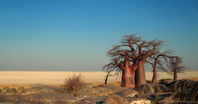 Reveal of A group of majestic Baobabs,Adansonia sp trees at Lehkubu Island