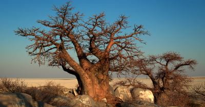 Reveal of two majestic Baobabs,Adansonia sp trees at Lehkubu Island