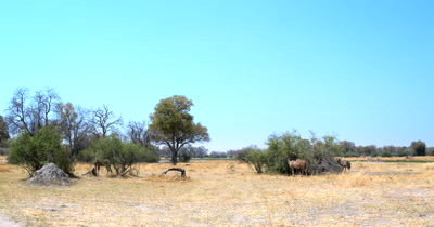 A wide shot of a herd of female Greater Kudu,Tragelaphus strepsiceros eating off a bush