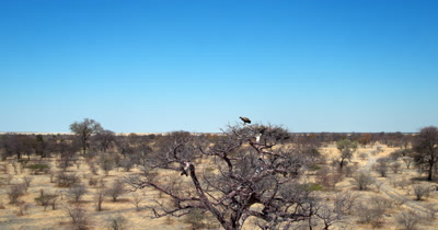 Aerial shot of a White-backed vulture, Gyps africanus's at its nest on a Baobab tree
