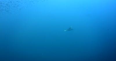A Devil Ray (Chilean Mobula), Mobula tarapacana swims through a large bait ball of Anchovies, Stolephorus indicus