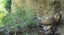 Kestrel Nest, Female Parent Feeding Chicks With A Little Bird