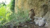 Kestrel Nest, hungry chick TASTING  parent's leg