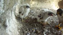 Peregrine Falcon Nest,STEREOSCOPIC 3D,Male Parent Feeding 10 Days Old Chicks,One Undisclosed Egg