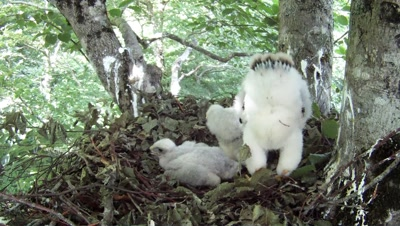 Goshawk,Stereoscopic 3D,a 12 days old chick defecates HITING the camera lens