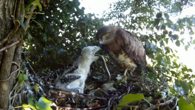Short toed eagle,STEREOSCOPIC 3D, the 20 days chick swallowing a snake and defecating in the MEANTIME