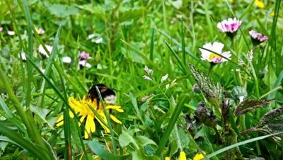 Bumblebee gathering pollen, closeup