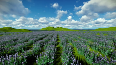Lavender field against beautiful timelapse clouds, camera fly