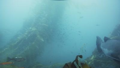 Large Black Sea Bass swims through kelp, past camera