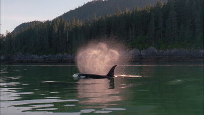 Killer Whales (Orcas) Swim On Glassy Surface, Light Catches Mist From Blow