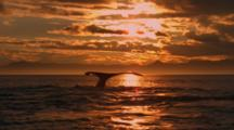 Humpback Whales On Surface In Vivid Sunset Light, Dive And Shows Flukes