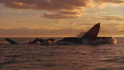 Humpback Whales Feed On Surface, One Opens Huge Mouth