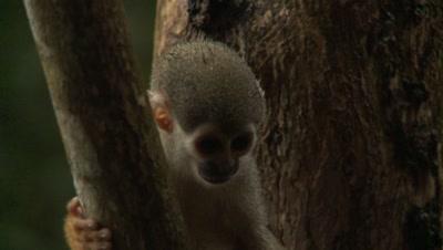 Squirrel Monkey in Amazon Rainforest, Jumps off Branch