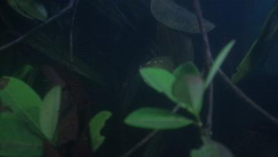 Amazon River Underwater,Plants and Fish