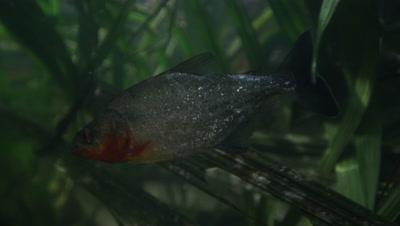 Amazon River Underwater,fish,Possibly Piranha,Swims Around Palm-like Plants