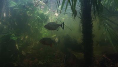 Amazon River Underwater,Fish,Possibly Piranha,Swim Among Plants,Go After Bait