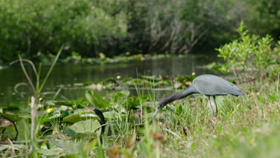Little Blue Heron and an American Darter hunting in the Everglades