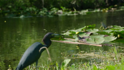 Little Blue Heron swallows a captured fish as an American Darter hunts in the water nearby