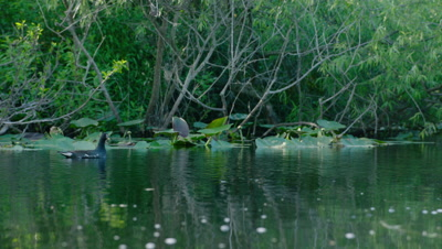 A bird swimming in the Everglades, possibly a Common Gallinule