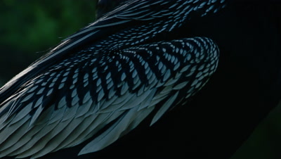 Close up on the wing feathers of an American Darter as it dries it's wings in the sun