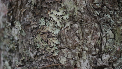 Epiphytes,Lichen Grows on Tree Bark