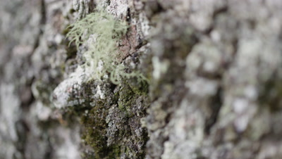 Ant Crawls Down Tree Bark past Epiphytes,Lichen