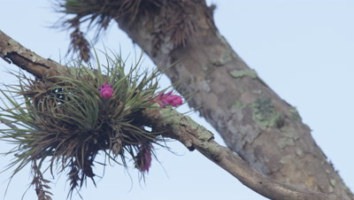 Epiphytic plant on tree in Brazil Rainforest