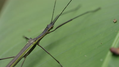 Stick Insect Rests on Green Leaf in Rainforest