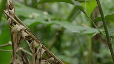Stick Insect Camouflaged on Dead Plant
