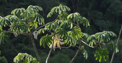 Tree in Brazil Atlantic Rainforest,Possibly Papaya