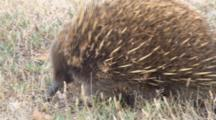 Short-Beaked Echidna Searching For Prey 3