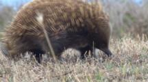 Short-Beaked Echidna Searching For Prey 4