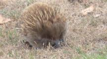 Short-Beaked Echidna Searching For Prey 5