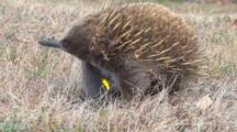 Short-Beaked Echidna Searching For Prey 6