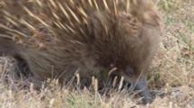 Short-Beaked Echidna Searching For Prey 7
