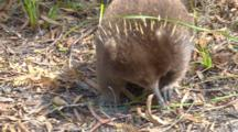 Short-Beaked Echidna Searching For Prey 9