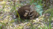 Short-Beaked Echidna Searching For Prey 10