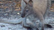 Bennett's Wallaby 01