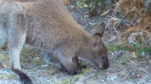 Bennett's Wallaby 03