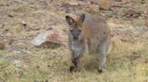 Bennett's Wallaby 06